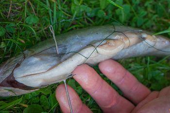 Welsangeln Köderfisch