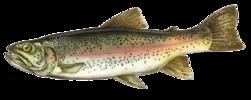 Forellen angeln - Tipps Regenbogenforelle fangen